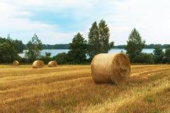 Colhendo os campos Colheita dourada amarela do trigo no verão Paisagem bonita com o lago no fundo Imagens de Stock