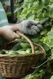 Colhendo pepinos do jardim Fotografia de Stock Royalty Free