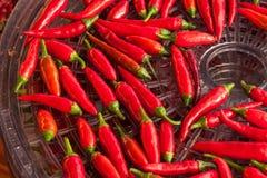 Colhendo pimentas Preparação para secar o tempero picante Secador bonde do alimento Foto de Stock Royalty Free