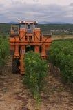 Colhendo uvas Imagem de Stock