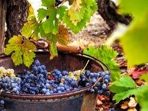 Colhendo uvas Foto de Stock Royalty Free
