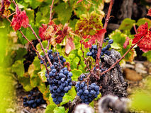 Colhendo uvas Fotografia de Stock Royalty Free