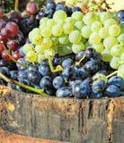 Colhendo uvas Imagens de Stock