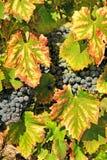 Colhendo uvas Imagem de Stock Royalty Free