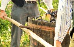 Colhendo uvas Foto de Stock
