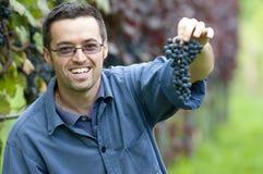 Colhendo uvas vermelhas Fotografia de Stock Royalty Free