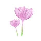 Colhicum-Blume, Aquarell Stockfoto