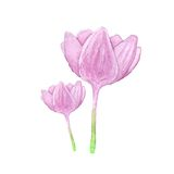 Colhicum flower, watercolor Stock Photo
