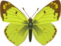 Colias Stock Images