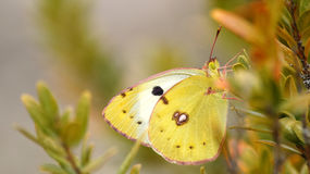 Colias alfacariensis Royalty Free Stock Images