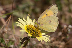 Colias Crocea. Colias croceus is a small butterfly of the Pieridae family, that is, the Yellows and Whites. In India and nearby regions it is known as the Dark Royalty Free Stock Image