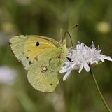 Colias crocea, Dark Clouded Yellow, Common Clouded Yellow butterfly from France Stock Images