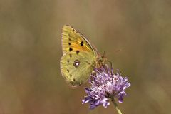 Colias crocea, Dark Clouded Yellow, Common Clouded Yellow, The Clouded Yellow Royalty Free Stock Photo