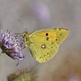 Colias crocea, Dark Clouded Yellow, Common Clouded Yellow, The Clouded Yellow butterfly Stock Photos