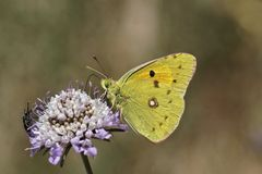 Colias crocea, Dark Clouded Yellow, Common Clouded Yellow, The Clouded Yellow butterfly Royalty Free Stock Photos