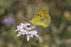 Colias crocea, Dark Clouded Yellow, Common Clouded Yellow, The Clouded Yellow butterfly Royalty Free Stock Photography