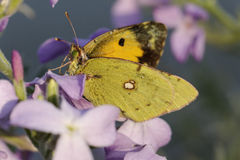 Colias crocea, Dark Clouded Yellow, Common Clouded Yellow. European butterfly from Corsica, France, Europe Royalty Free Stock Image