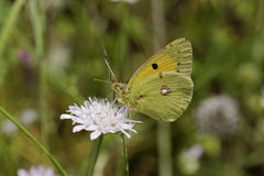 Colias crocea, Dark Clouded Yellow, Common Clouded Yellow, european butterfly from Corsica, France Royalty Free Stock Image