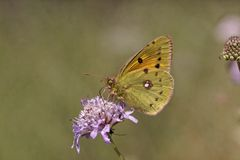 Colias-crocea, Dunkelheit bewölkte Gelbes, Common bewölktes Gelb, das bewölkte Gelb Stockfotos