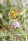 Colias crocea female butterfly stock photos