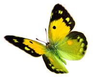 Colias croceus in flight Stock Photography