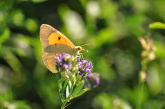 Colias croceus Royalty Free Stock Photos