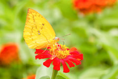 Colias erate butterfly on a mexican sunflower Royalty Free Stock Images