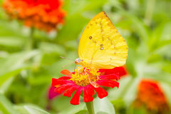 Colias erate butterfly on a mexican sunflower Royalty Free Stock Photos