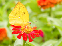 Colias erate butterfly on a mexican sunflower Stock Photography