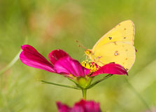 Colias eurytheme, Orange Sulphur butterfly stock image