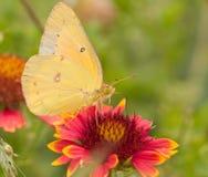 Colias eurytheme, Orange Sulphur butterfly Royalty Free Stock Image