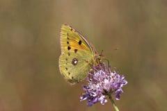 Coliascrocea, Dark betrok Gele, Gemeenschappelijke Betrokken Geel, Betrokken Geel Royalty-vrije Stock Foto