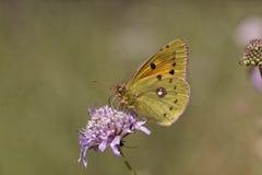 Coliascrocea, Dark betrok Gele, Gemeenschappelijke Betrokken Geel, Betrokken Geel Stock Foto's