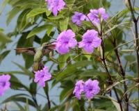 colibrà en Flor Fotografia Stock