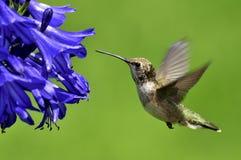 colibrì Fotografia Stock