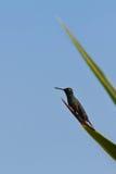 colibrì fotografie stock libere da diritti