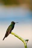 colibrì fotografia stock libera da diritti