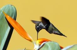 Colibrì Fotografie Stock