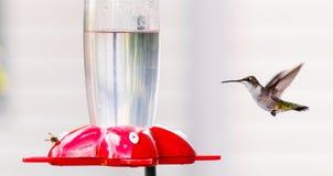Colibrì & ape Fotografia Stock Libera da Diritti