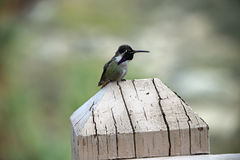Colibrì appollaiato su una posta di legno fotografia stock libera da diritti