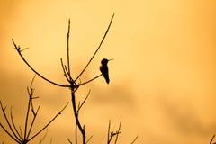 Colibrì appollaiato sull'albero morto fotografia stock