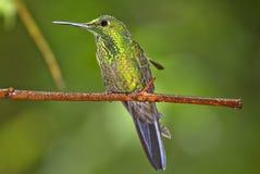colibrì Banda-munito Immagine Stock
