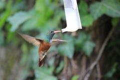 Colibrì bevente Fotografia Stock Libera da Diritti