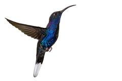 Colibrì blu isolato durante il volo su bianco Immagini Stock Libere da Diritti
