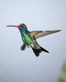 Colibrì Broad-billed Fotografie Stock
