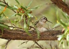 Colibrì che costruisce un nido Immagini Stock