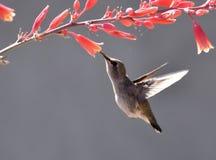 Colibrì che raccoglie nettare dai fiori fotografia stock