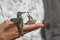 Colibrì che si alimentano la mano della ragazza Immagine Stock Libera da Diritti
