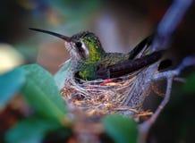 Colibrì che si siede sul nido Fotografie Stock Libere da Diritti