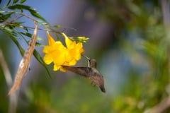 Colibrì che vola per ingiallire fiore Fotografia Stock